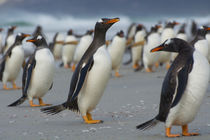 Saunders Island. Gentoo penguin walking on the beach. von Danita Delimont