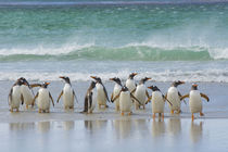 Saunders Island. Gentoo penguins coming out of the ocean. by Danita Delimont