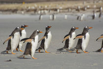 Saunders Island. A line of Gentoo penguins walking on the beach. by Danita Delimont