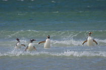 Saunders Island. Gentoo penguins in the water. by Danita Delimont