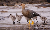 Falkland Islands, Upland Goose and chicks walking on a beach. von Danita Delimont