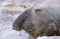 Southern Elephant Seal adult bull molting on beach, Falkland Islands. by Danita Delimont
