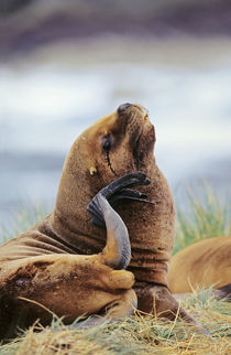 South American Sea Lion by Danita Delimont