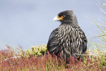 Striated Caracara, Falkland Islands by Danita Delimont