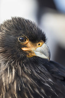 Striated Caracara, Falkland Islands von Danita Delimont