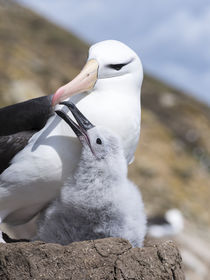 Black-browed Albatross,Falkland by Danita Delimont