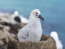 Black-browed Albatross,Falkland von Danita Delimont