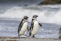 Magellanic Penguin, on beach by Danita Delimont