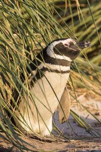 Magellanic Penguin, Falkland Islands von Danita Delimont