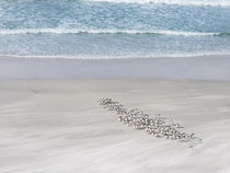 Rockhopper Penguin von Danita Delimont