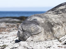 Southern elephant seal von Danita Delimont