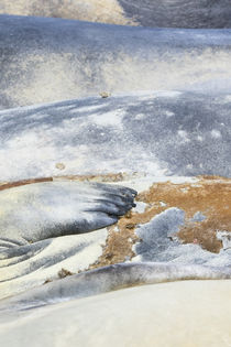 Southern elephant seal by Danita Delimont