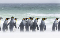 King Penguin, Falkland Islands von Danita Delimont