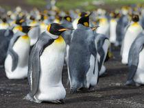 King Penguin, Falkland Islands by Danita Delimont