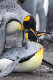 King Penguin, Falkland Islands von Danita Delimont