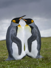 King Penguin, Falkland Islands by Danita Delimont