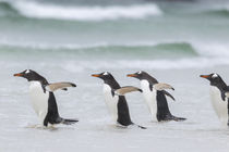 Gentoo Penguin, Falkland Islands von Danita Delimont