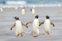 Gentoo Penguin, Falkland Islands by Danita Delimont