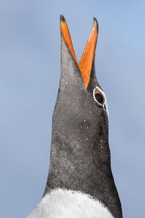 Gentoo Penguin, Falkland Islands by Danita Delimont