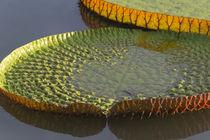 Victoria amazonica lily pads on Rupununi River, southern Guyana von Danita Delimont
