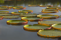 Victoria amazonica lily pads on Rupununi River, southern Guyana by Danita Delimont