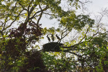 Storks with nest on a tree, North Rupununi, southern Guyana von Danita Delimont