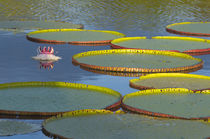 Victoria amazonica lily pads and flowers on Rupununi River, ... von Danita Delimont