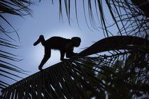 Brown Capuchin von Danita Delimont
