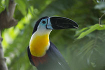 Channel-billed Toucan by Danita Delimont