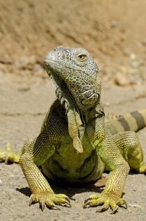 Honduras, Honduran Bay Islands, Roatan, Iguana Farm by Danita Delimont