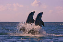 Dolphins leaping from sea, Roatan Island, Honduras by Danita Delimont