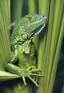 Green Iguana blending into the plants, Honduras by Danita Delimont
