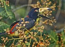 Collared Aracari calling in the trees, Honduras. von Danita Delimont