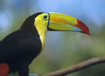 Keel-billed Toucan, Honduras by Danita Delimont