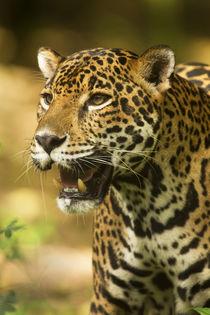 Mexico, Panthera onca, Jaguar portrait. von Danita Delimont
