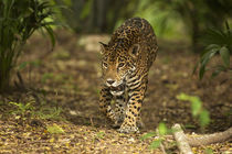 Mexico, Panthera onca, Jaguar walking in forest. von Danita Delimont