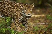 Mexico, Panthera onca, Jaguar in forest. by Danita Delimont