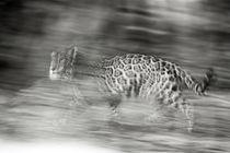 Mexico, Panthera onca, Jaguar running through forest. von Danita Delimont