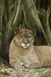 Puma concolor, Puma in montane tropical forest. by Danita Delimont