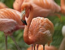Caribbean Flamingo, Mexico von Danita Delimont