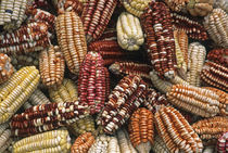 Peruvian maize varieties dried in open air, Cusco, Peru. by Danita Delimont
