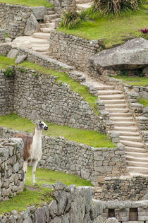 Llama at Machu Picchu, Aguas Calientes, Peru. by Danita Delimont