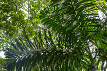 Amazon Jungle Palm Tree von Danita Delimont