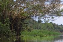 Aerial roots on tree, Amazon basin, Peru. von Danita Delimont