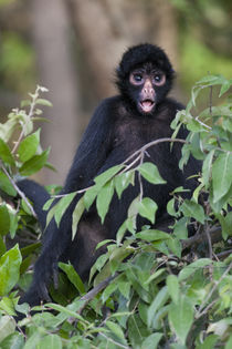 Black Spider Monkey, Amazon basin, Peru. by Danita Delimont