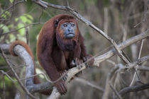 Red Howler Monkey, Amazon basin, Peru. von Danita Delimont