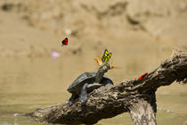 Yellow-spotted River Turtle Sunbathing & Butterfly by Danita Delimont