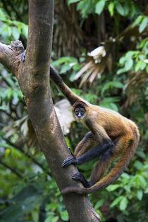 Geoffroy's spider monkey, Ateles geoffroyi, black-handed spider monkey by Danita Delimont