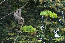 Three-Toed Sloth Perezoso de Tres Dedos, Cahuita, Caribe, Costa Rica by Danita Delimont