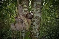 Three-Toed Sloth Perezoso de Tres Dedos, Cahuita, Caribe, Costa Rica von Danita Delimont